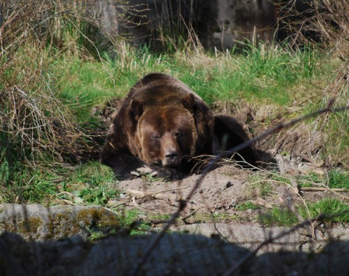 だらけてる熊