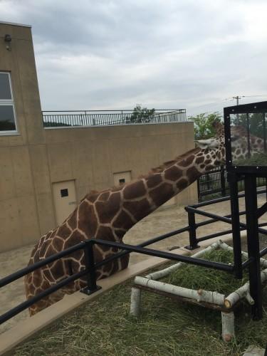 旭山動物園キリンのゲンキ2