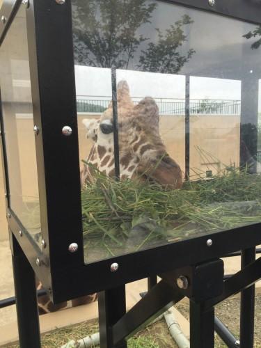 旭山動物園キリンのゲンキ3