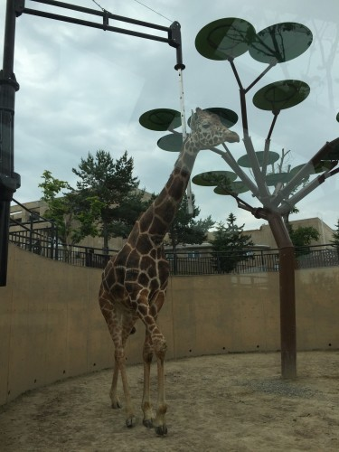 旭山動物園キリンのゲンキはダイナミック