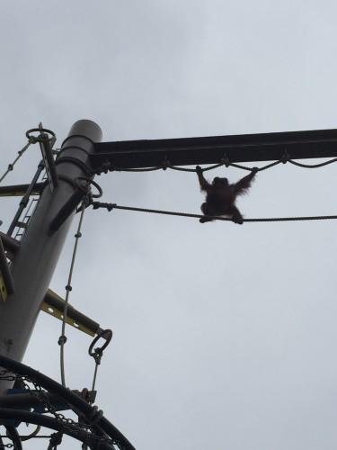旭山動物園オランウータンの綱渡り