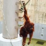 旭山動物園のオランウータンが地上17mの危険な展示をされてる理由