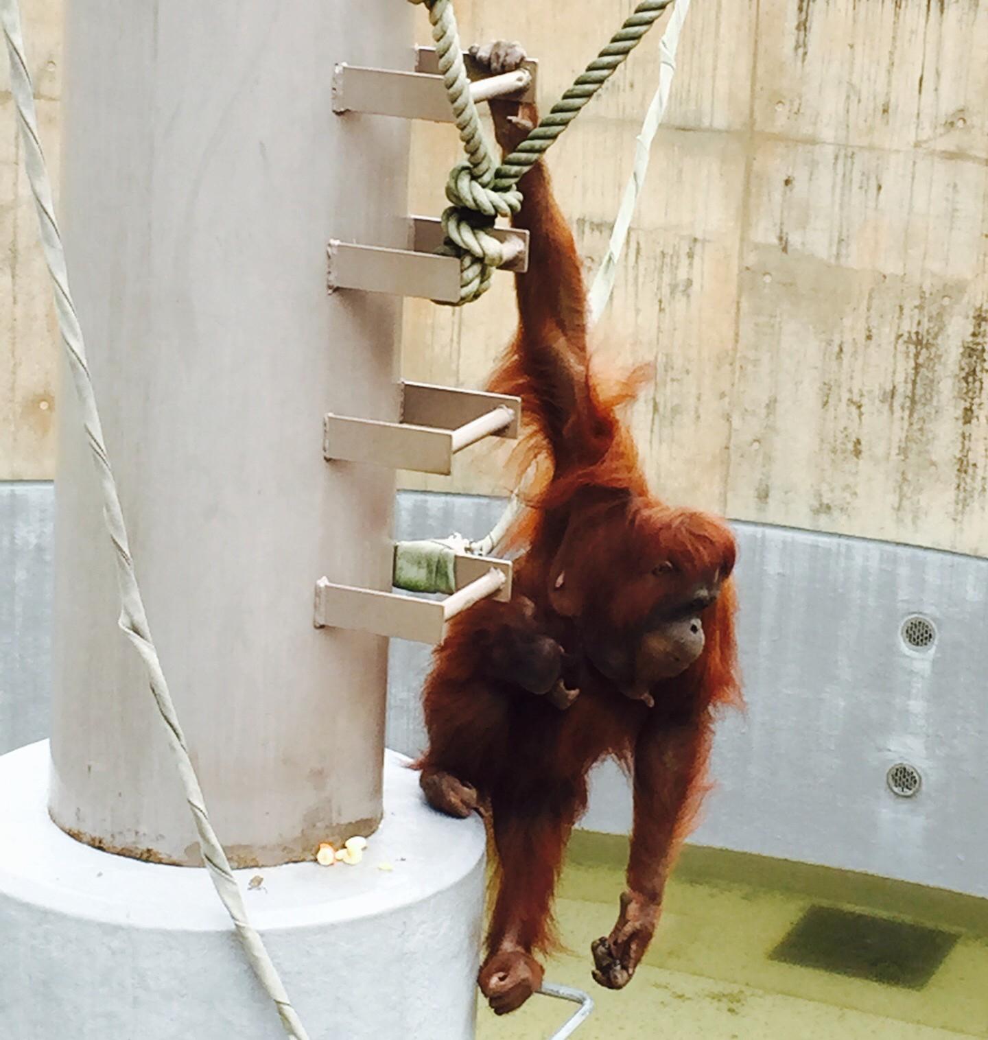 旭山動物園のオランウータン リアン