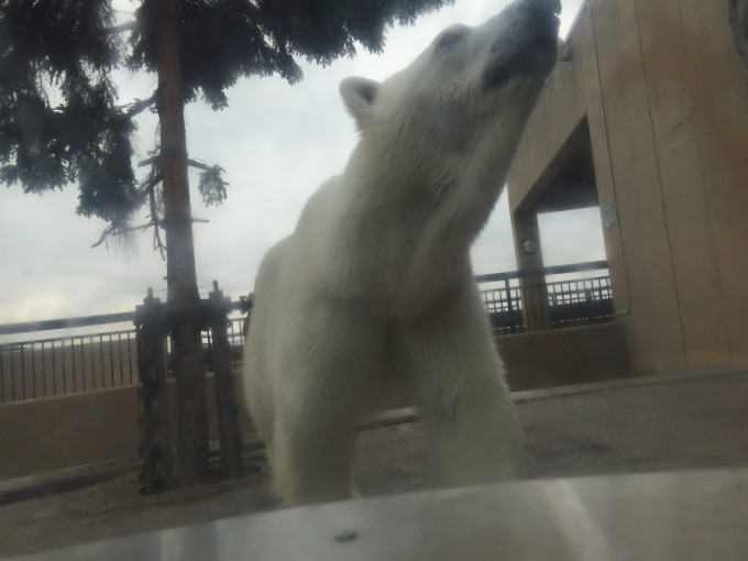 旭山動物園シロクマ近い