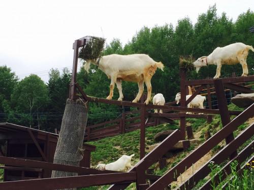 旭山動物園の宙に浮くヤギ