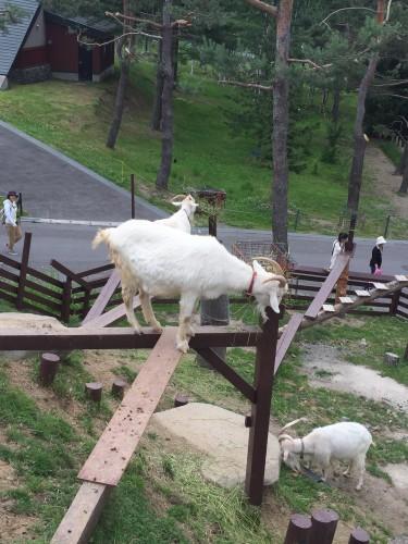 旭山動物園宙に浮いてエサを食べるヤギ